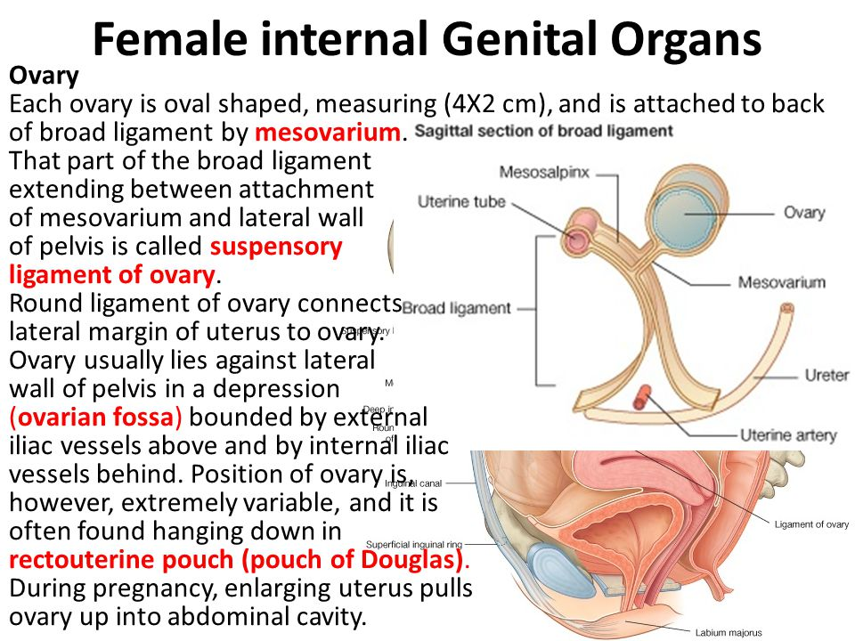 Female internal Genital Organs Ovary Each ovary is oval shaped, measuring (4X2 cm), and is attached to back of broad ligament by mesovarium. That part
