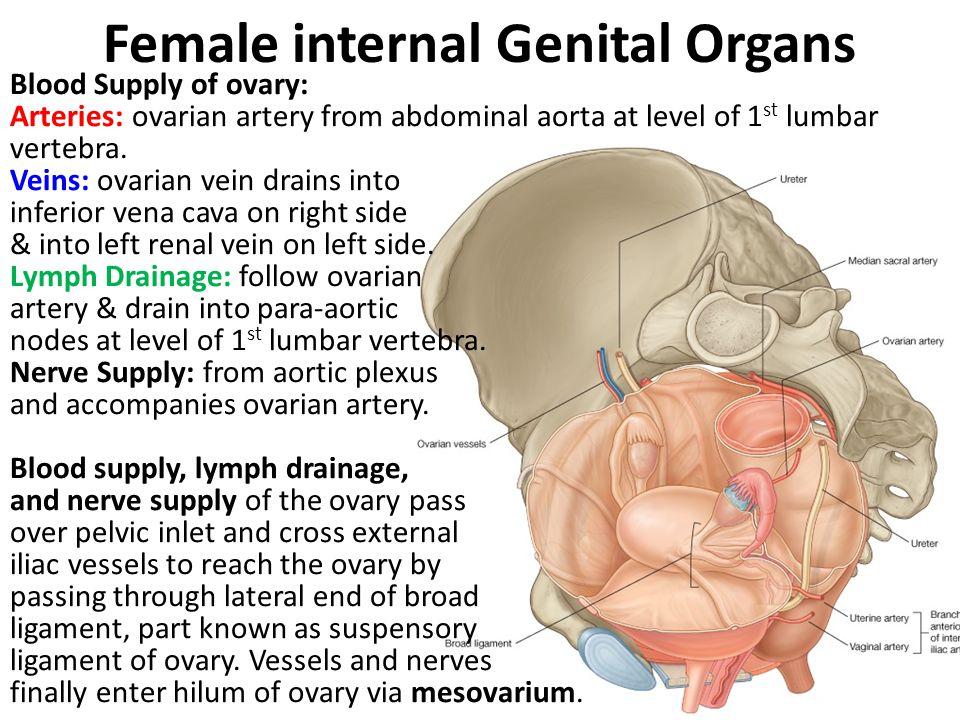 Female internal Genital Organs Blood Supply of ovary: Arteries: ovarian artery from abdominal aorta at level of 1 st lumbar vertebra. Veins: ovarian v