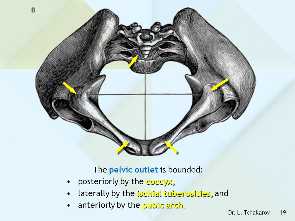 Dr. L. Tchakarov19 The pelvic outlet is bounded: coccyx,posteriorly by the coccyx, ischial tuberosities,laterally by the ischial tuberosities, and pub
