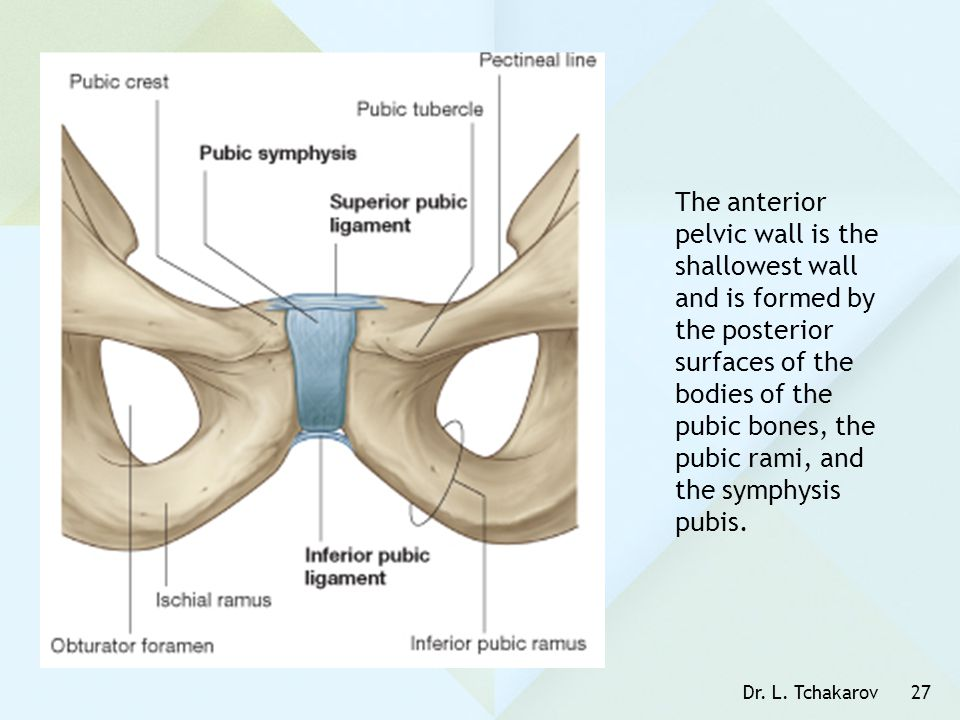 Dr. L. Tchakarov27 The anterior pelvic wall is the shallowest wall and is formed by the posterior surfaces of the bodies of the pubic bones, the pubic