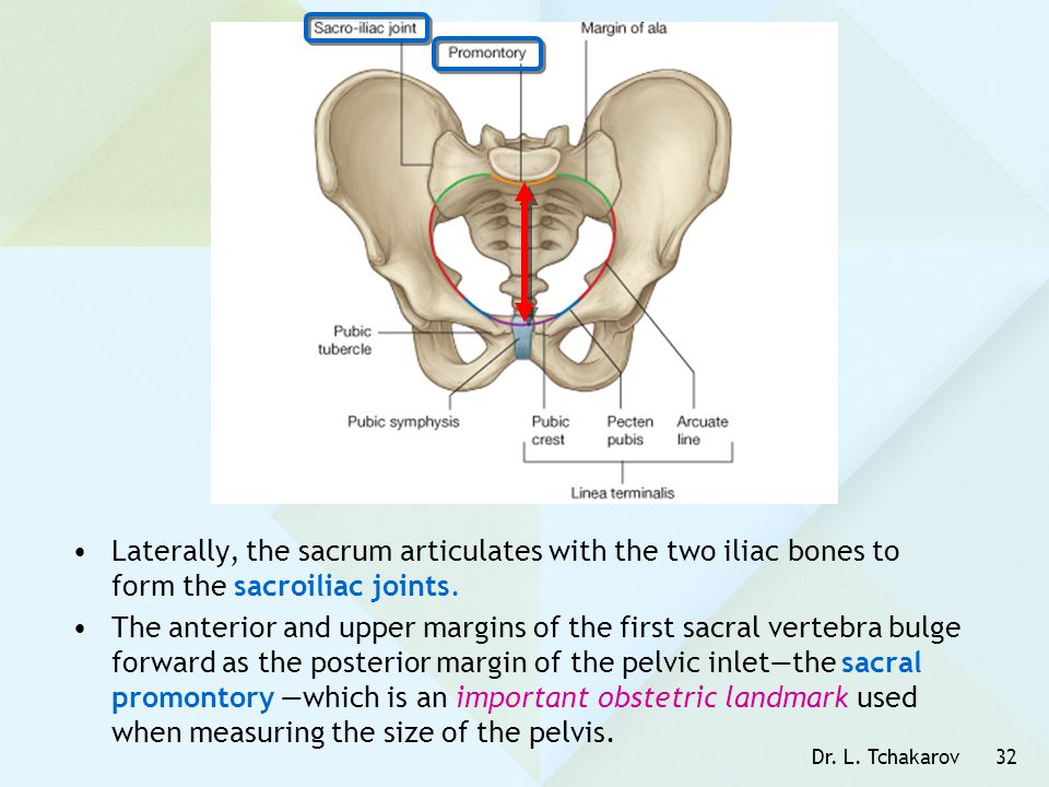Dr. L. Tchakarov32 Laterally, the sacrum articulates with the two iliac bones to form the sacroiliac joints. The anterior and upper margins of the fir