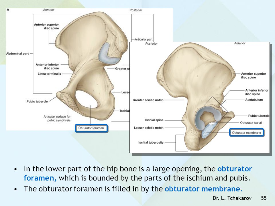 Dr. L. Tchakarov55 In the lower part of the hip bone is a large opening, the obturator foramen, which is bounded by the parts of the ischium and pubis