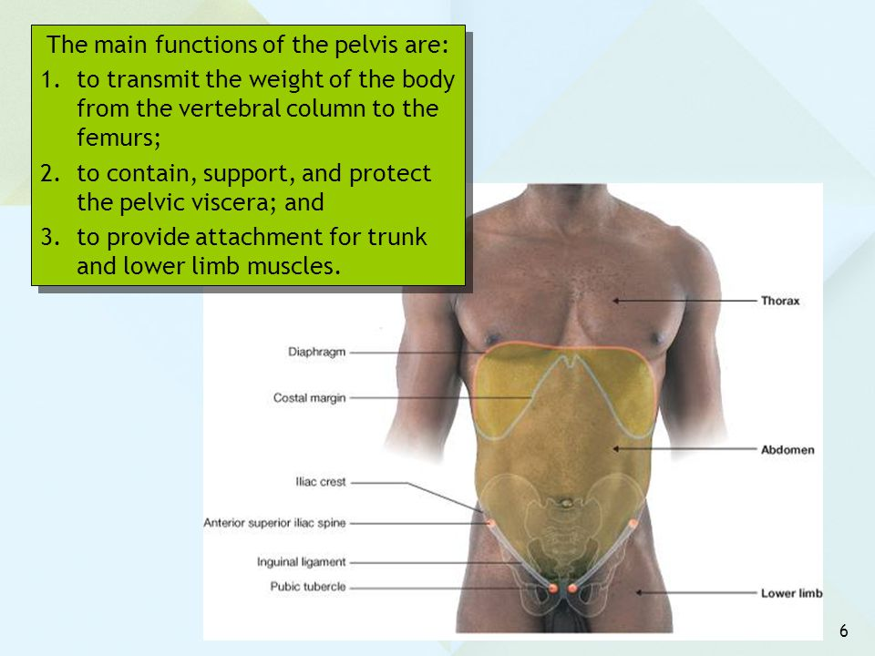 6 The main functions of the pelvis are: 1.to transmit the weight of the body from the vertebral column to the femurs; 2.to contain, support, and prote
