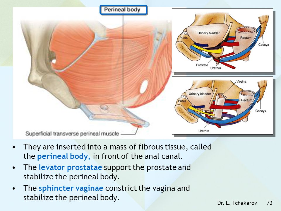 Dr. L. Tchakarov73 They are inserted into a mass of fibrous tissue, called the perineal body, in front of the anal canal. The levator prostatae suppor