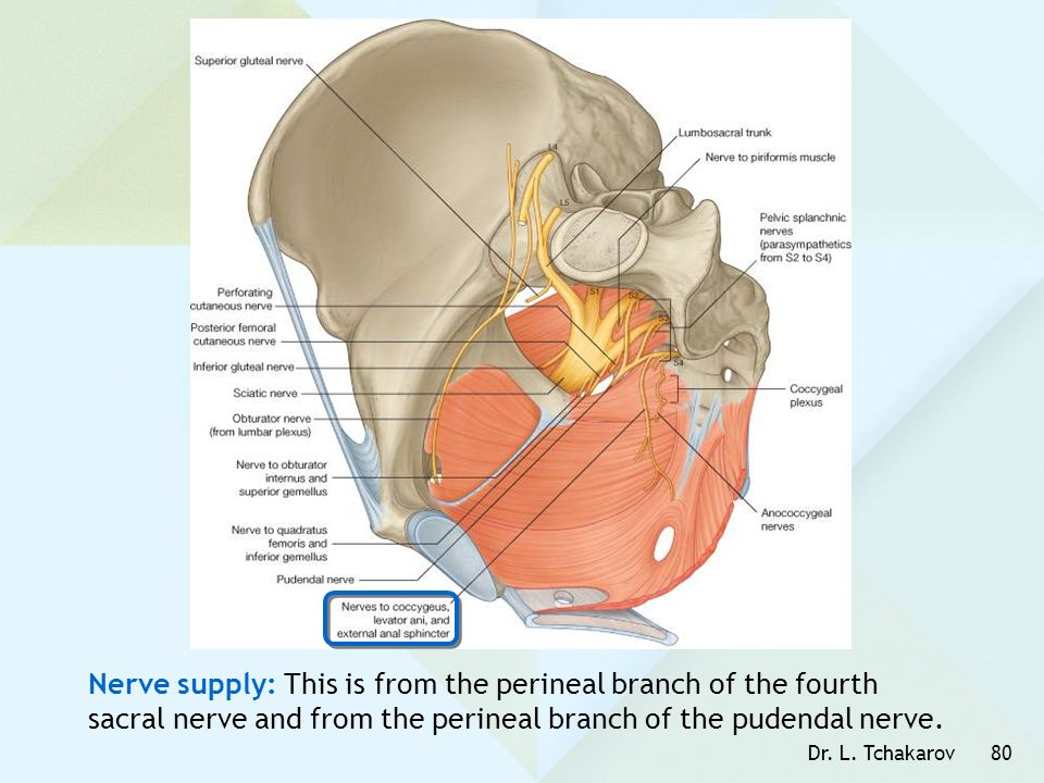 Dr. L. Tchakarov80 Nerve supply: This is from the perineal branch of the fourth sacral nerve and from the perineal branch of the pudendal nerve.