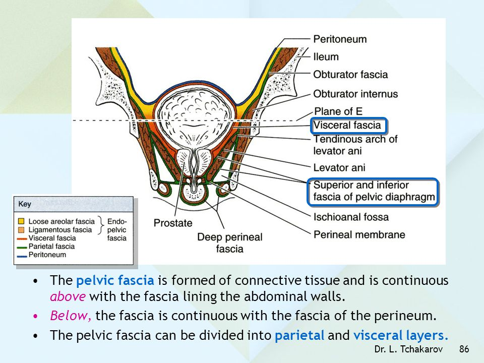 Dr. L. Tchakarov86 The pelvic fascia is formed of connective tissue and is continuous above with the fascia lining the abdominal walls. Below, the fas