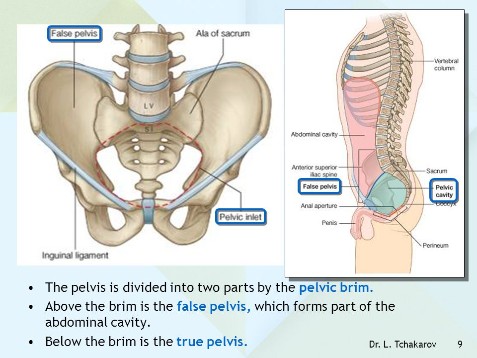 Dr. L. Tchakarov9 The pelvis is divided into two parts by the pelvic brim. Above the brim is the false pelvis, which forms part of the abdominal cavit