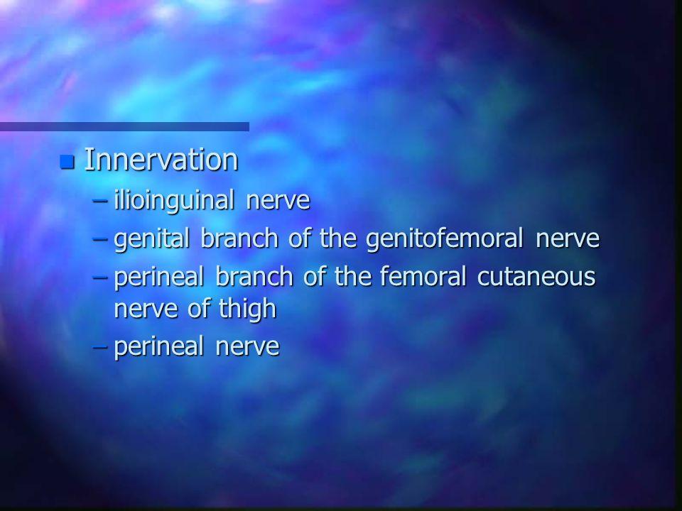 n Innervation –ilioinguinal nerve –genital branch of the genitofemoral nerve –perineal branch of the femoral cutaneous nerve of thigh –perineal nerve