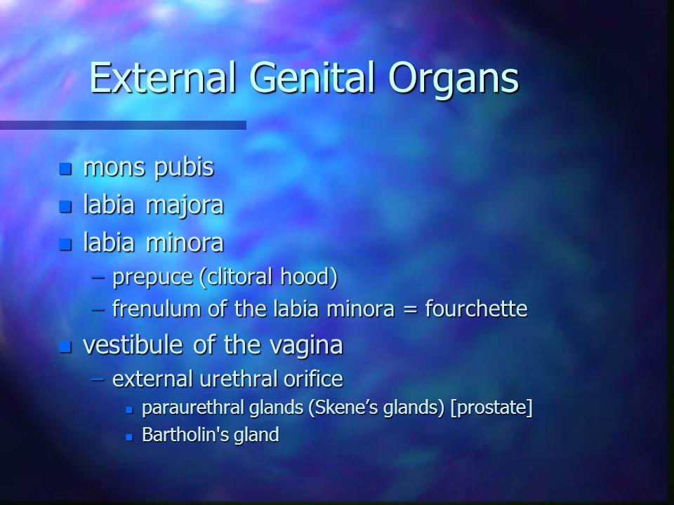 External Genital Organs n mons pubis n labia majora n labia minora –prepuce (clitoral hood) –frenulum of the labia minora = fourchette n vestibule of
