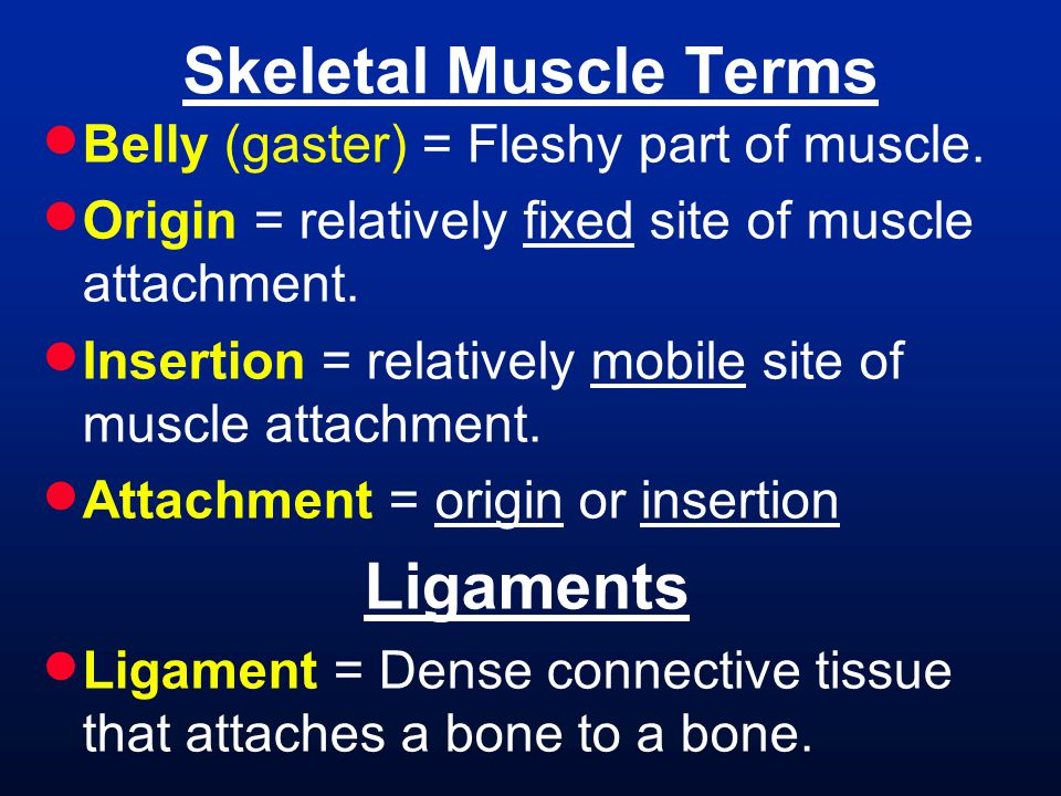  Belly (gaster) = Fleshy part of muscle.  Origin = relatively fixed site of muscle attachment.  Insertion = relatively mobile site of muscle attach