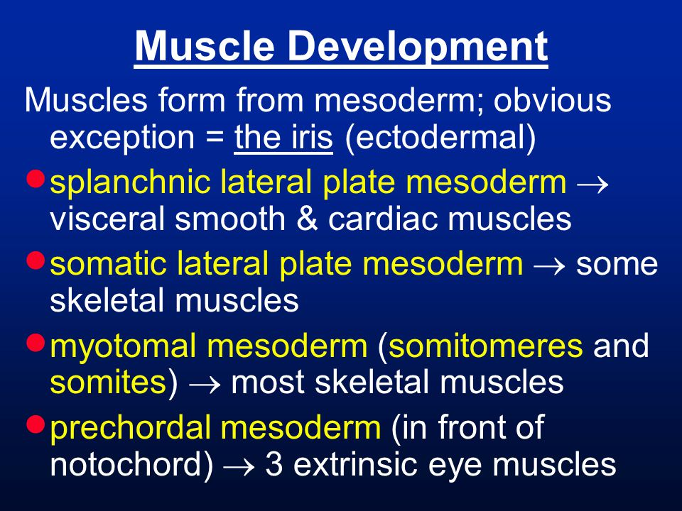 Muscles form from mesoderm; obvious exception = the iris (ectodermal)  splanchnic lateral plate mesoderm  visceral smooth & cardiac muscles  somati