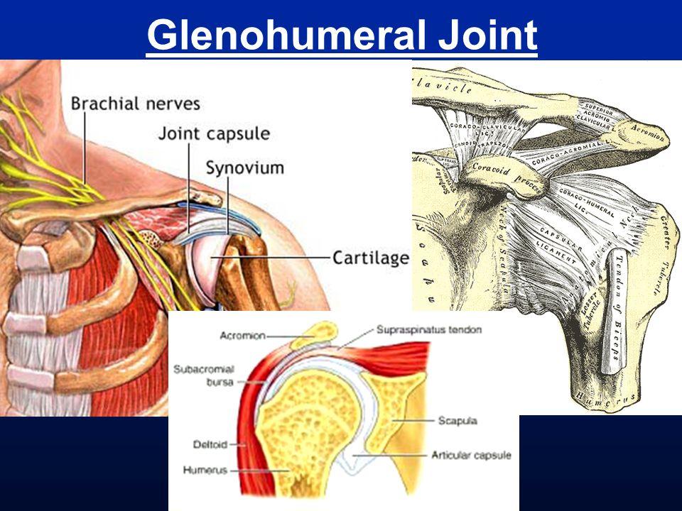 Biceps Muscle tendon belly tendon insertion origin