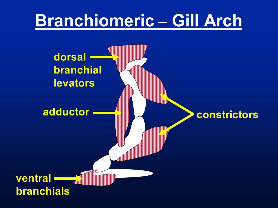 Branchiomeric – Gill Arch constrictors adductor dorsal branchial levators ventral branchials