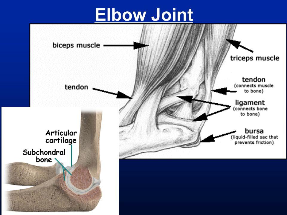 Neck (Under Chin) Musculature