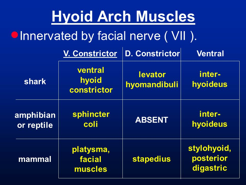  Innervated by facial nerve ( VII ). Hyoid Arch Muscles shark amphibian or reptile mammal V. ConstrictorVentral levator hyomandibuli stapedius ABSENT