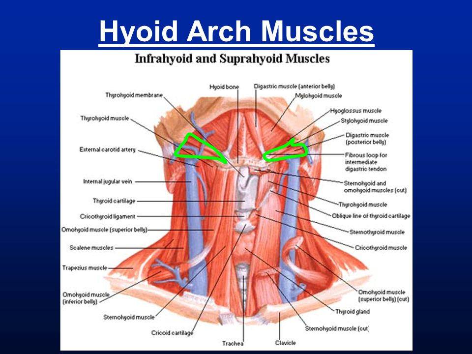Hyoid Arch Muscles