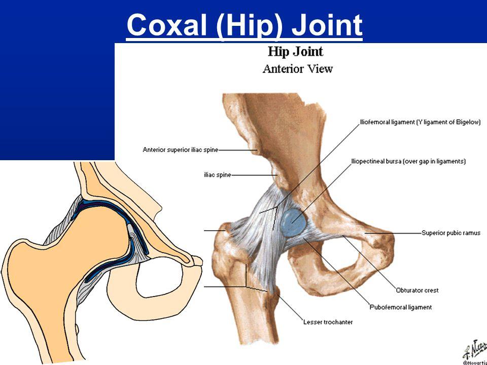 Deep Back Musculature Erector spinae – extends vertebral column