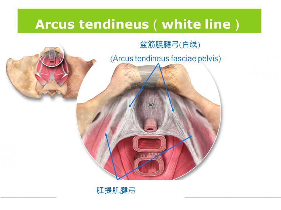 版权所 有 盆筋膜腱弓 ( 白线 ) ( Arcus tendineus fasciae pelvis) 肛提肌腱弓 (Arcus tendineus levator ani) Arcus tendineus ( white line )