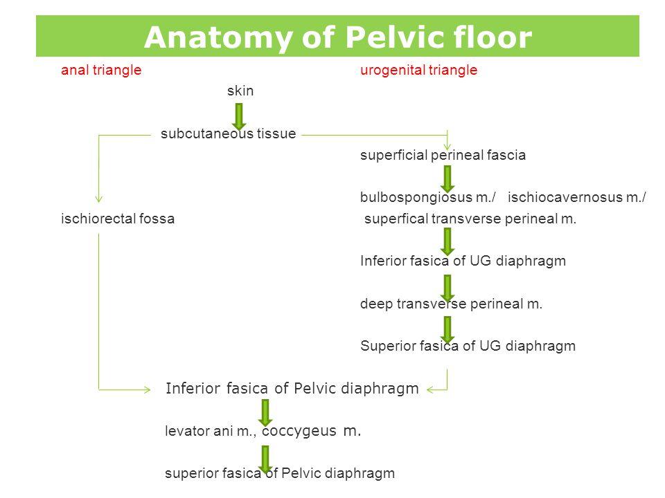 Anatomy of Pelvic floor anal triangleurogenital triangle skin subcutaneous tissue superficial perineal fascia bulbospongiosus m./ ischiocavernosus m./