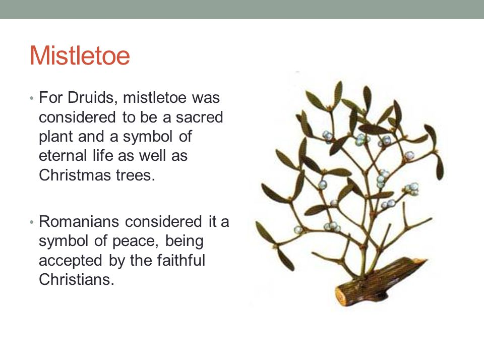Mistletoe For Druids, mistletoe was considered to be a sacred plant and a symbol of eternal life as well as Christmas trees.