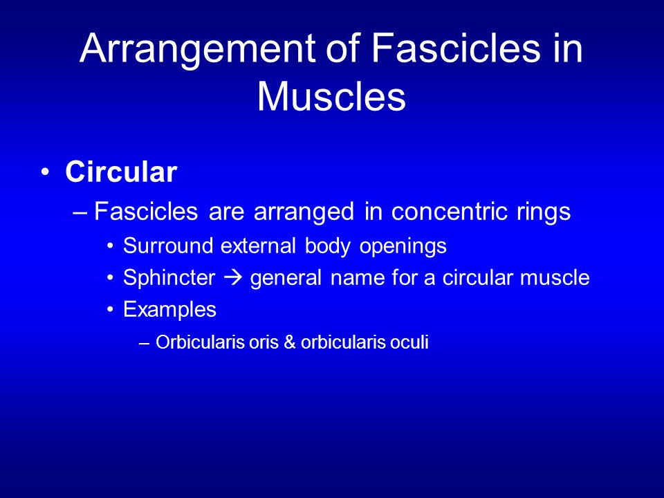 Arrangement of Fascicles in Muscles Circular –Fascicles are arranged in concentric rings Surround external body openings Sphincter  general name for