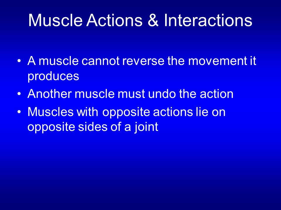 Muscle Actions & Interactions A muscle cannot reverse the movement it produces Another muscle must undo the action Muscles with opposite actions lie o