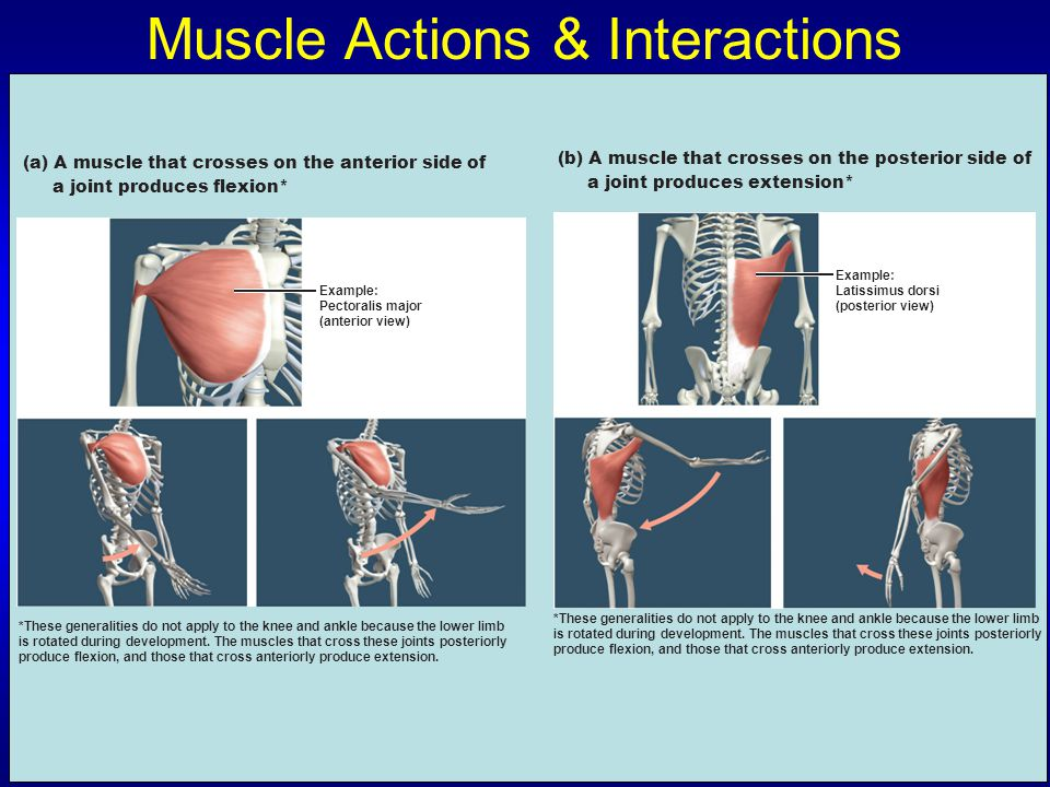 Muscle Actions & Interactions Example: Pectoralis major (anterior view) (a) A muscle that crosses on the anterior side of a joint produces flexion* *T