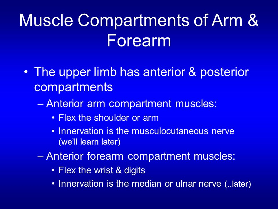 Muscle Compartments of Arm & Forearm The upper limb has anterior & posterior compartments –Anterior arm compartment muscles: Flex the shoulder or arm