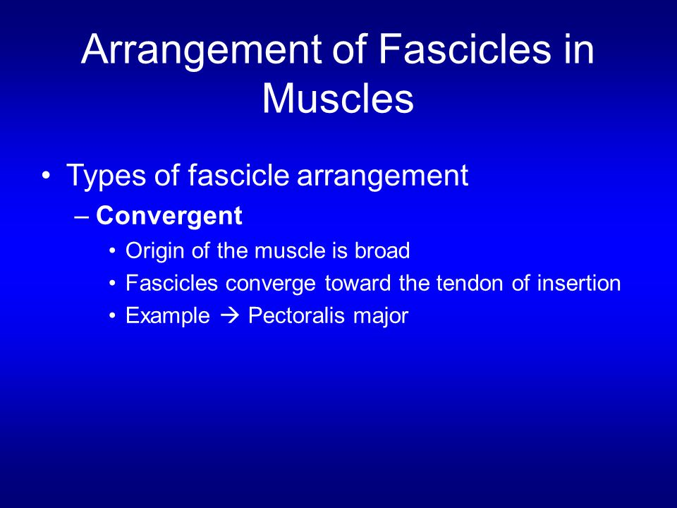 Arrangement of Fascicles in Muscles Types of fascicle arrangement –Convergent Origin of the muscle is broad Fascicles converge toward the tendon of in