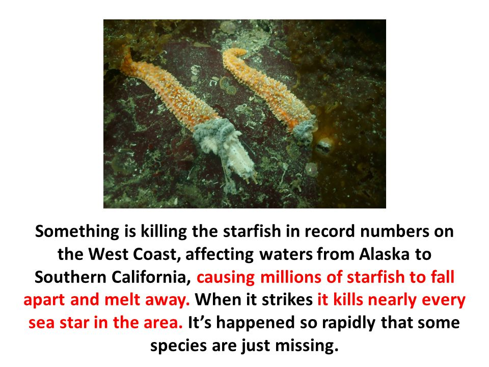 Something is killing the starfish in record numbers on the West Coast, affecting waters from Alaska to Southern California, causing millions of starfish to fall apart and melt away.