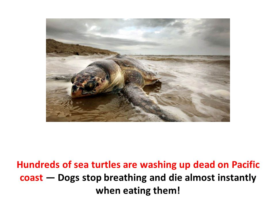 Hundreds of sea turtles are washing up dead on Pacific coast — Dogs stop breathing and die almost instantly when eating them!