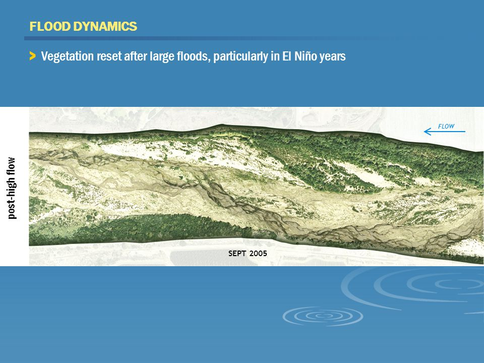 SEPT 2005 post-high flow FLOOD DYNAMICS FLOW > Vegetation reset after large floods, particularly in El Niño years