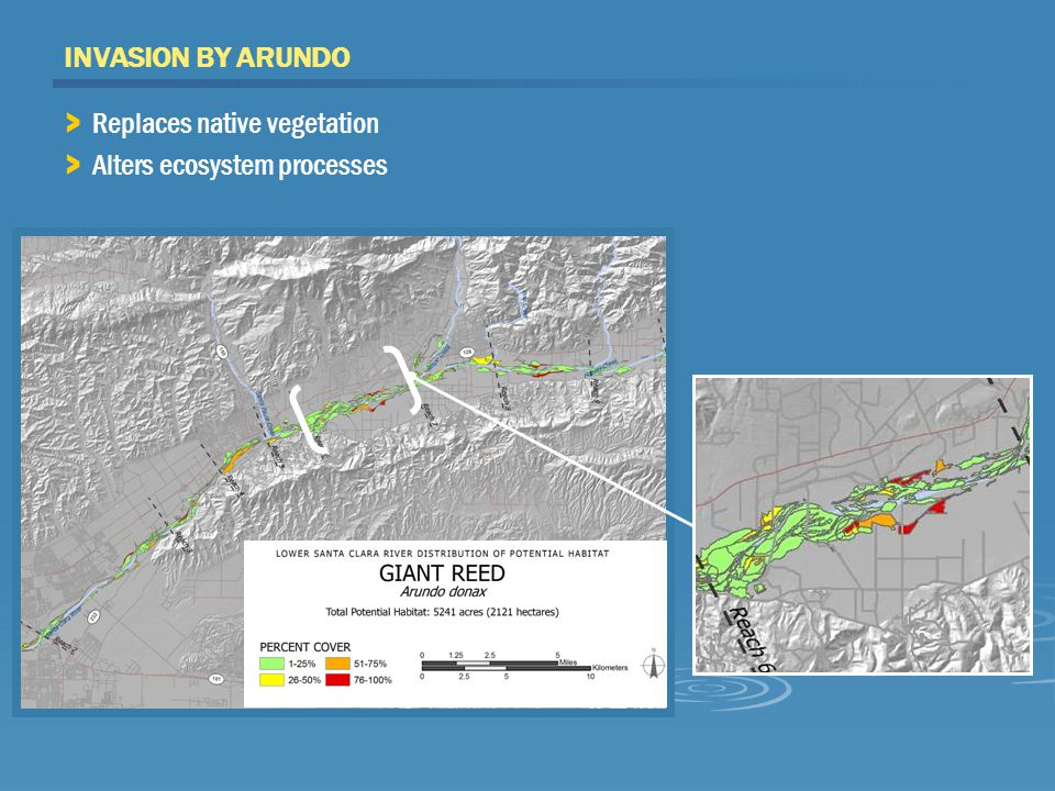 INVASION BY ARUNDO > Replaces native vegetation > Alters ecosystem processes
