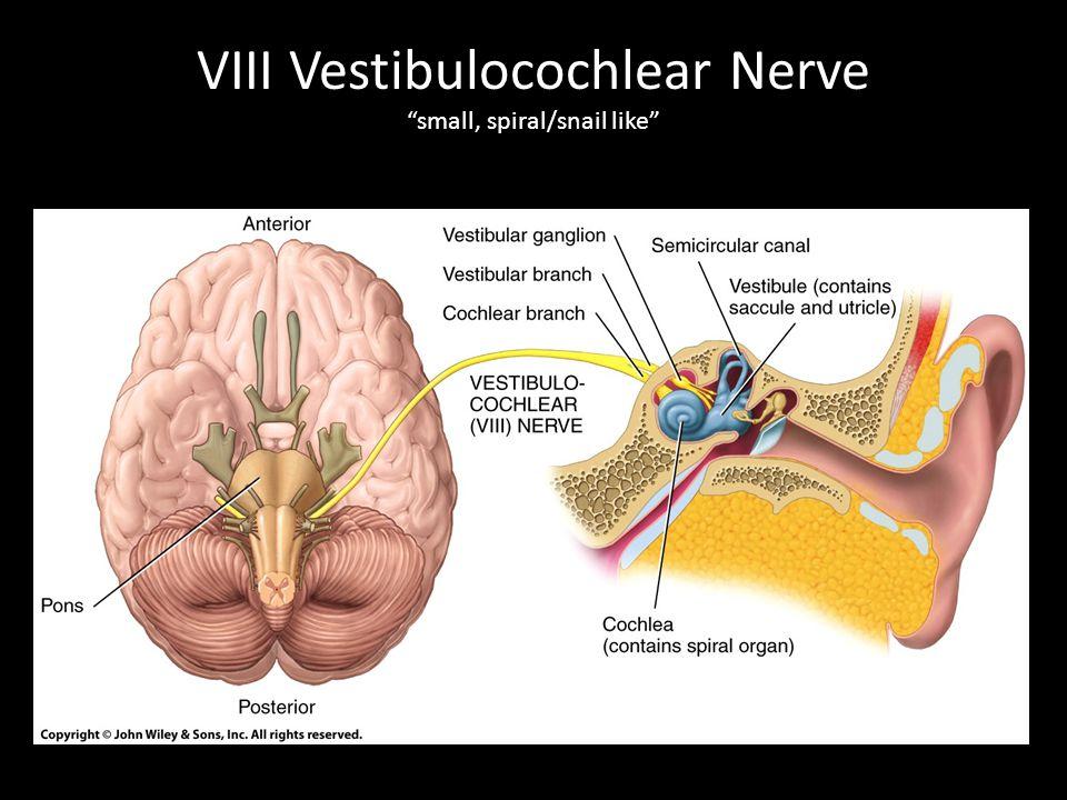"""VIII Vestibulocochlear Nerve """"small, spiral/snail like"""""""
