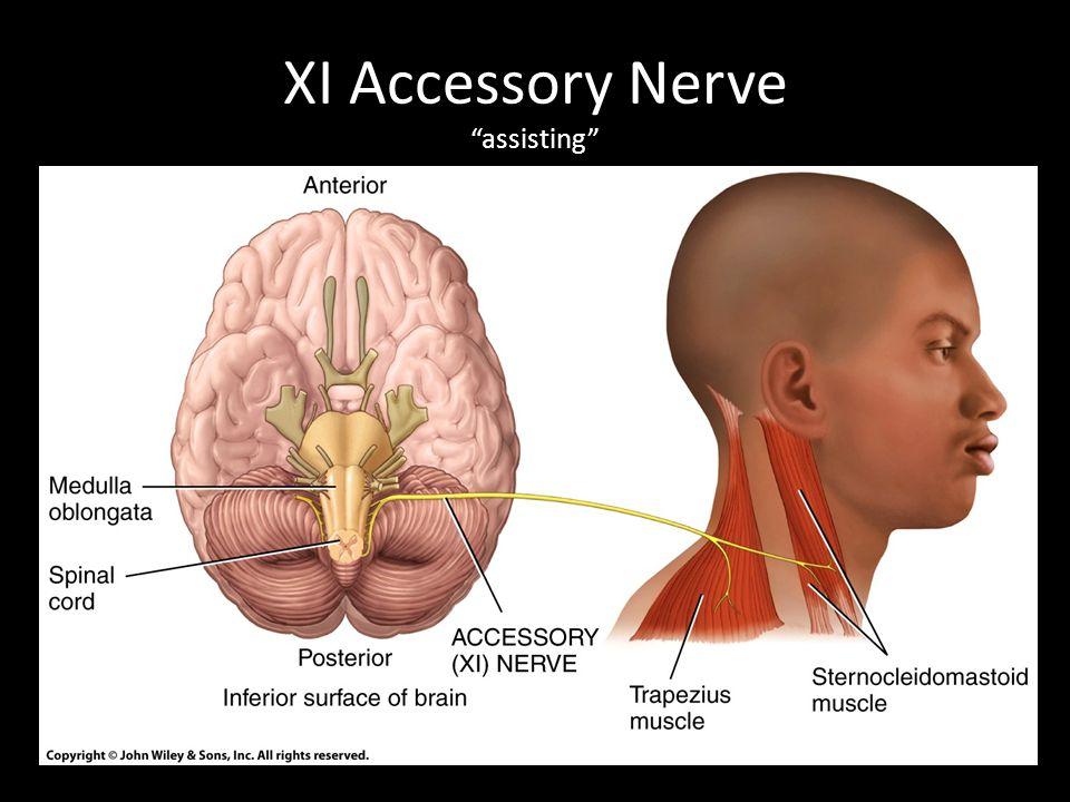 "XI Accessory Nerve ""assisting"""