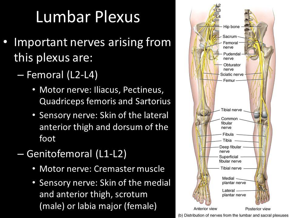 Lumbar Plexus Important nerves arising from this plexus are: – Femoral (L2-L4) Motor nerve: Iliacus, Pectineus, Quadriceps femoris and Sartorius Senso