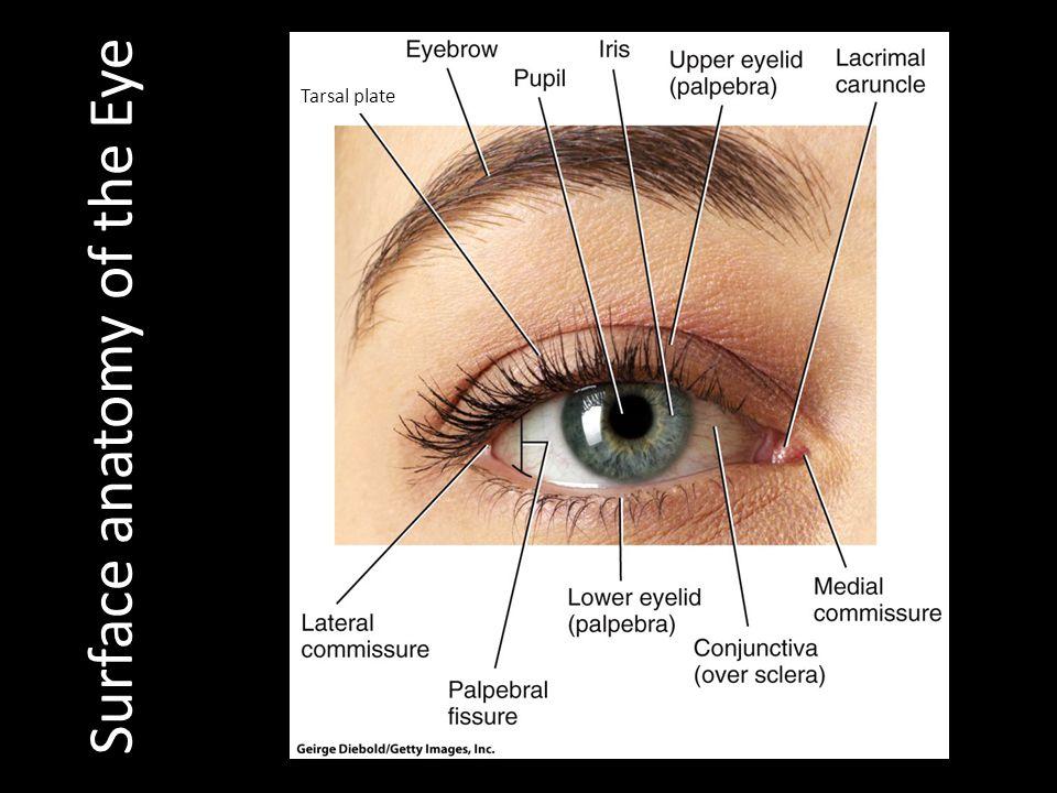 Eyelid Anatomy Tarsal Plate - annesutu