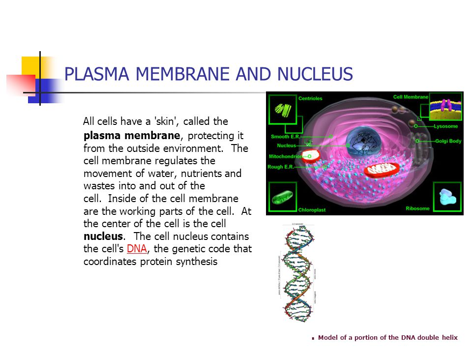 PLASMA MEMBRANE AND NUCLEUS All cells have a 'skin', called the plasma membrane, protecting it from the outside environment. The cell membrane regulat