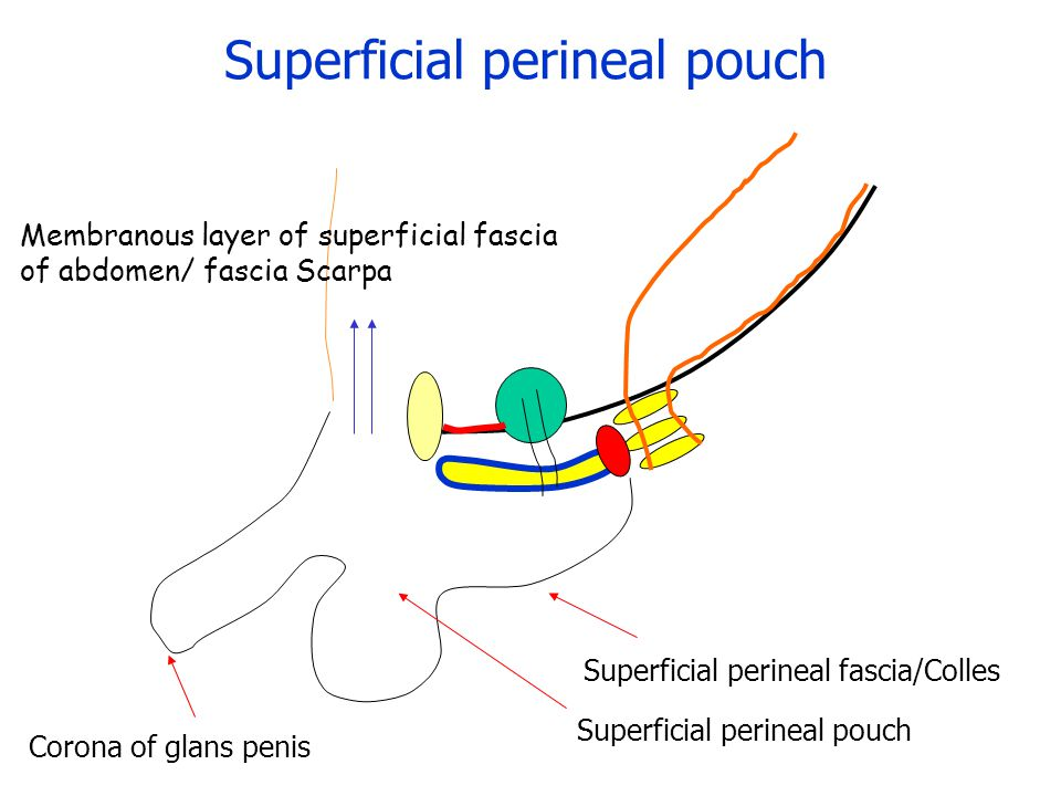 Membranous layer of superficial fascia of abdomen/ fascia Scarpa Superficial perineal pouch Superficial perineal fascia/Colles Superficial perineal pouch Corona of glans penis