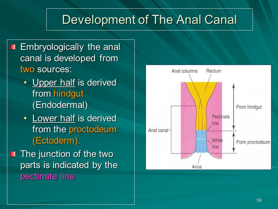 Development of The Anal Canal Embryologically the anal canal is developed from two sources: Upper half is derived from hindgut (Endodermal)Upper half is derived from hindgut (Endodermal) Lower half is derived from the proctodeum (Ectoderm).Lower half is derived from the proctodeum (Ectoderm).