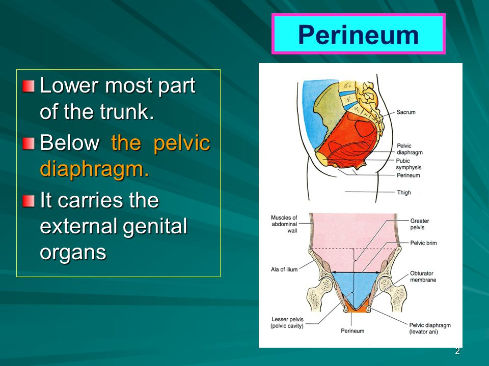 Perineum Lower most part of the trunk. Below the pelvic diaphragm. It carries the external genital organs 2