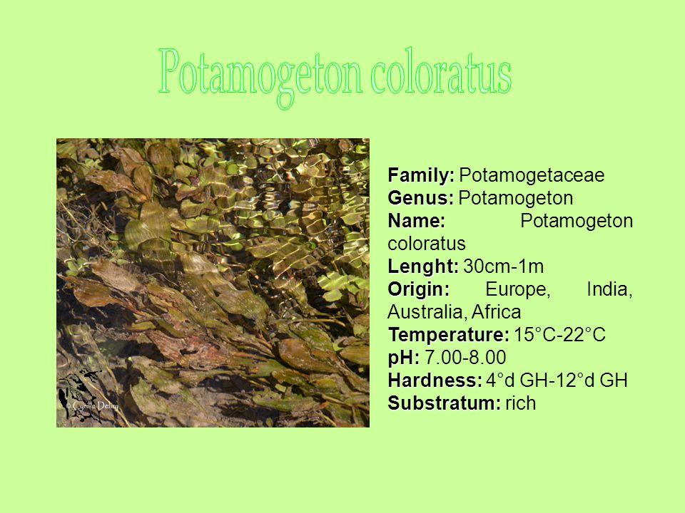 Family: Family: Potamogetaceae Genus: Genus: Potamogeton Name: Name: Potamogeton coloratus Lenght: Lenght: 30cm-1m Origin: Origin: Europe, India, Australia, Africa Temperature: Temperature: 15°C-22°C pH: pH: 7.00-8.00 Hardness: Hardness: 4°d GH-12°d GH Substratum: Substratum: rich