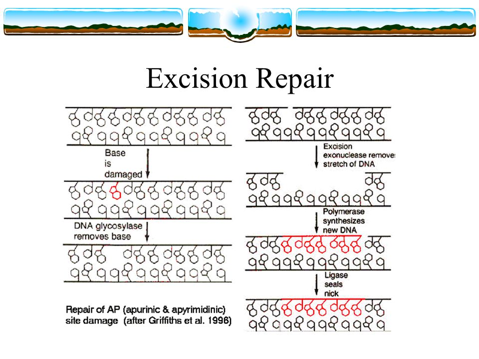 Xeroderma Pigmentosum (XP) People with XP (usually) lack the excision repair system and as such are very susceptible to skin damage Very susceptible to skin cancer Must be protected from UV radiation