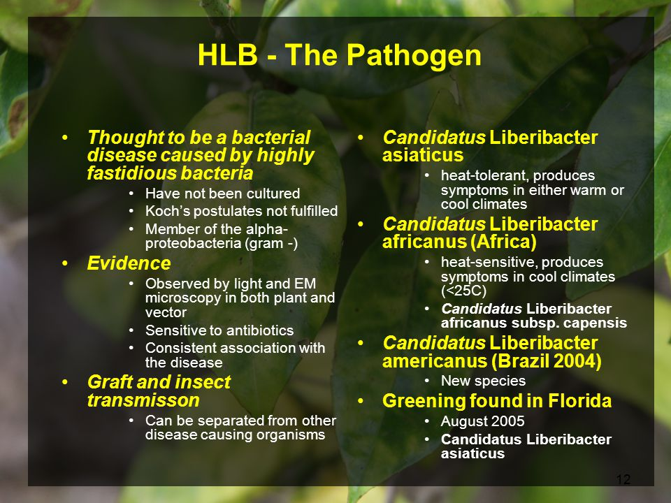 12 Candidatus Liberibacter asiaticus heat-tolerant, produces symptoms in either warm or cool climates Candidatus Liberibacter africanus (Africa) heat-sensitive, produces symptoms in cool climates (<25C) Candidatus Liberibacter africanus subsp.