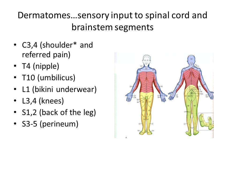 Dermatomes…sensory input to spinal cord and brainstem segments C3,4 (shoulder* and referred pain) T4 (nipple) T10 (umbilicus) L1 (bikini underwear) L3