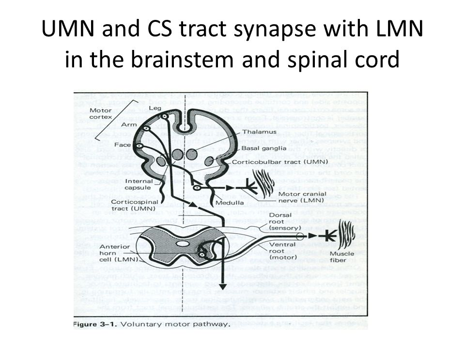 UMN and CS tract synapse with LMN in the brainstem and spinal cord