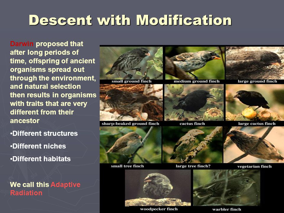Descent with Modification Darwin proposed that after long periods of time, offspring of ancient organisms spread out through the environment, and natu