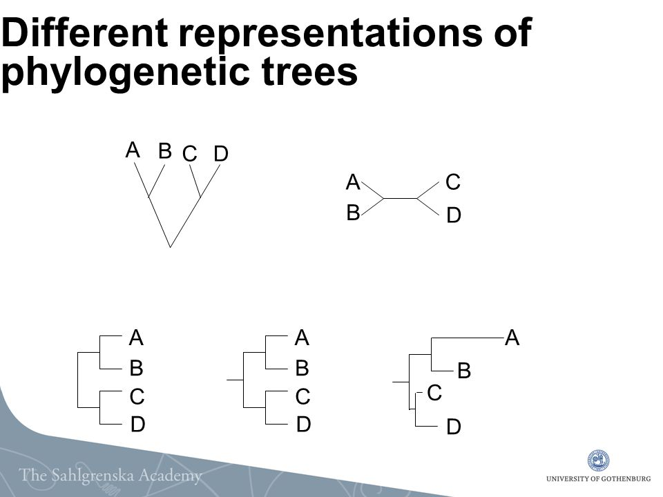 Different representations of phylogenetic trees A B CD A B C D A B C D A B C D A B C D