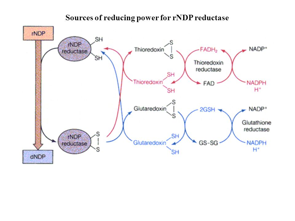 Sources of reducing power for rNDP reductase