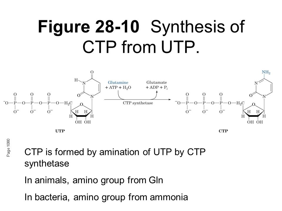 Figure 28-10Synthesis of CTP from UTP. Page 1080 CTP is formed by amination of UTP by CTP synthetase In animals, amino group from Gln In bacteria, ami